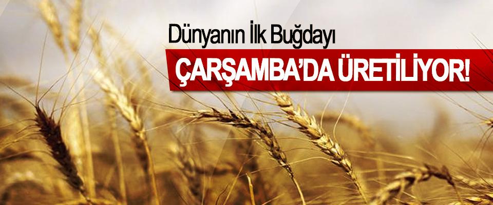 Dünyanın İlk Buğdayı Çarşamba'da Üretiliyor!