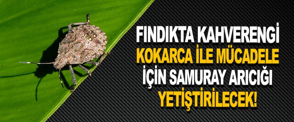 Fındıkta Kahverengi Kokarca İle Mücadeleye İçin Samuray Arıcığı Yetiştirilecek!