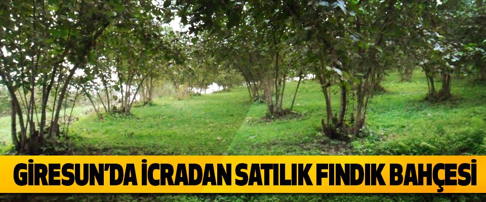 Giresun'da İcradan Satılık Fındık Bahçesi