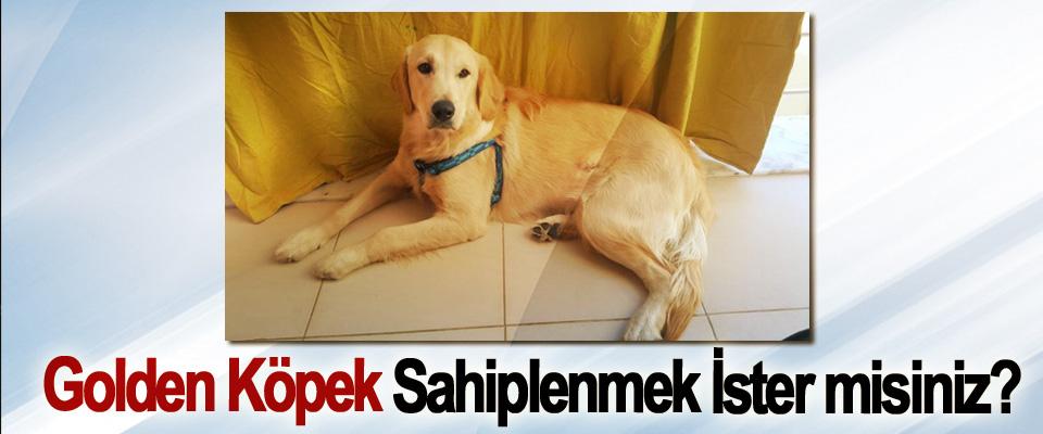 Golden Köpek Sahiplenmek İster misiniz ?