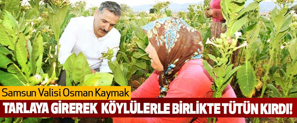 Samsun Valisi Osman Kaymak Tarlaya girerek köylülerle birlikte tütün kırdı!