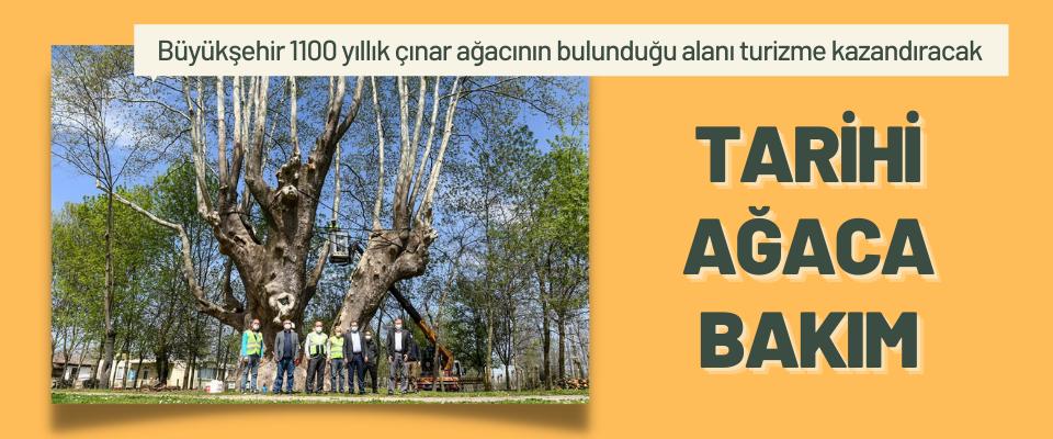 Samsun'da Tarihi Ağaca Bakım