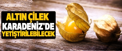 Altın Çilek Karadeniz'de Yetiştirilebilecek