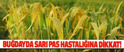 Buğdayda sarı pas hastalığına dikkat!