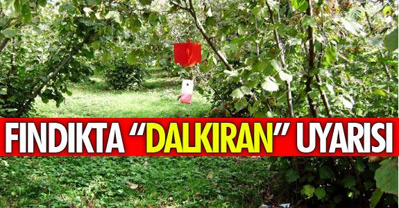 """FINDIK ÜRETİCİLERİNE """"DALKIRAN"""" UYARISI"""