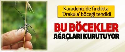 Karadeniz'de fındıkta 'Drakula' böceği tehdidi