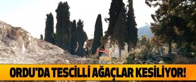 Ordu'da tescilli ağaçlar kesiliyor!