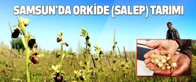 Samsun'da Orkide (Salep) Tarımı