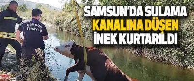 Samsun'da Sulama Kanalına Düşen İnek Kurtarıldı