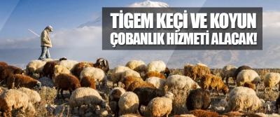 TİGEM Keçi ve Koyun Çobanlık Hizmeti Alacak!